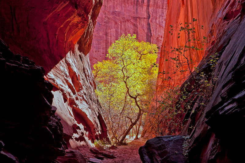 a golden tree inside a red rock canyon